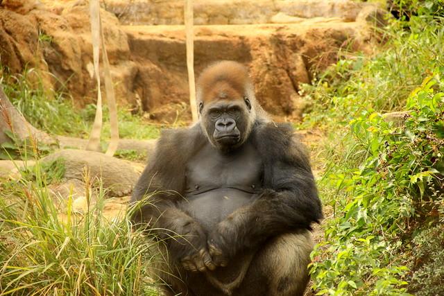 papa gorilla
