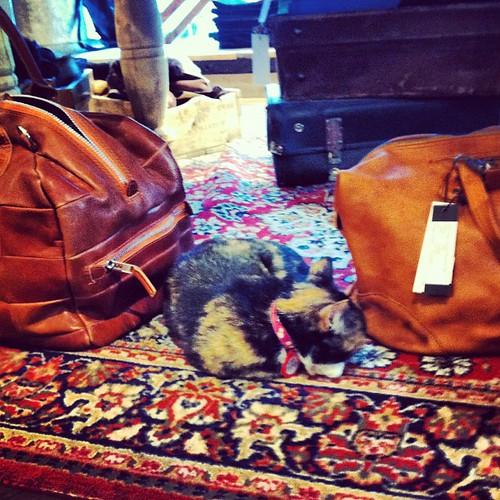 Adorable #cat visiting #geysirstore