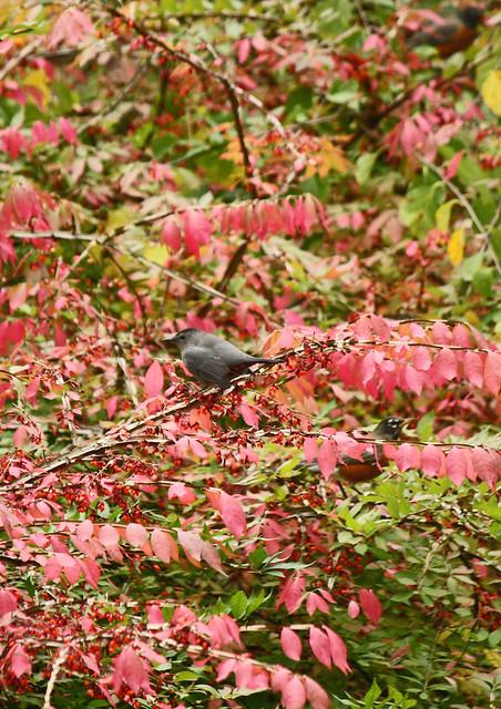 catbird and robin