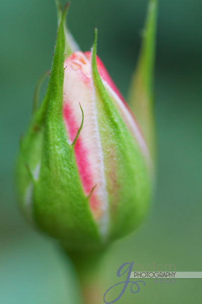 42 - up close rosebud