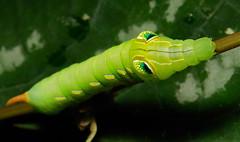 Final instar Hawk Moth Caterpillar (Pergesa acteus, Sphingidae)