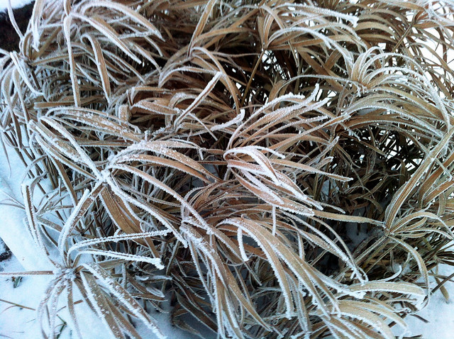 Coup de froid sur les papyrus !