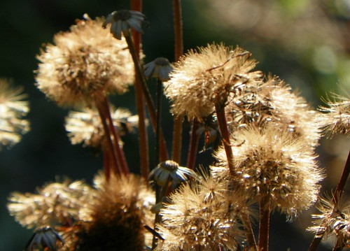seedheads