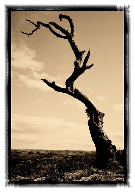 Twisted dead tree at Coombestone Tor