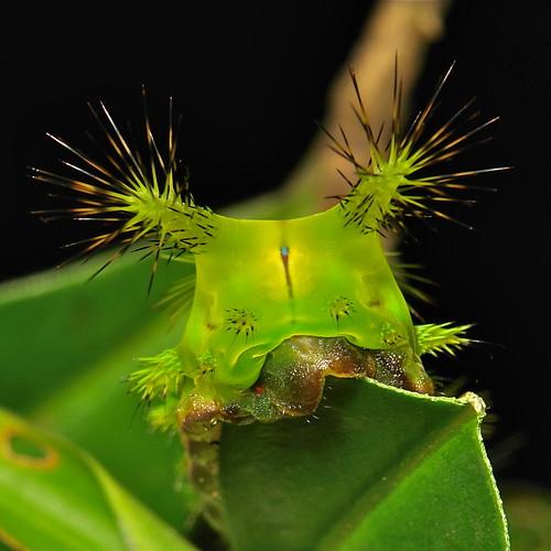 Stinging Nettle Cup Moth Caterpillar (Setora nitens, Limacodidae)