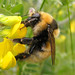 Bombus distinguendus (Great Yellow Bumblebee)