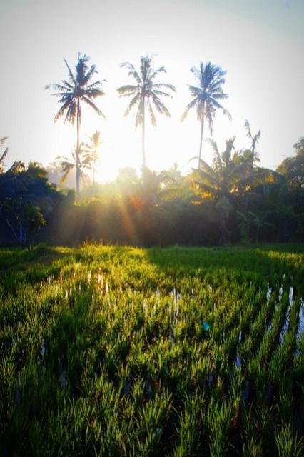 Ubud paddy fields