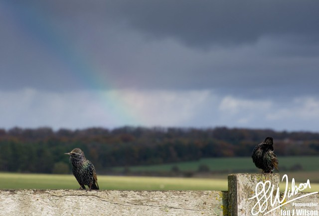 Starlings and Rainbow – Daily Photo (17th November 2012)