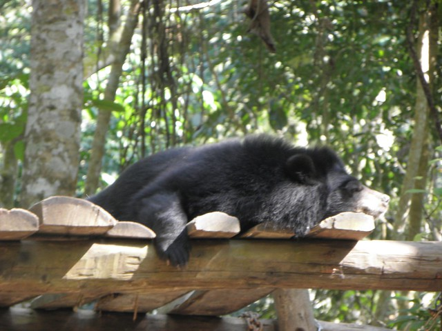 A snoozing sun bear in northern Laos