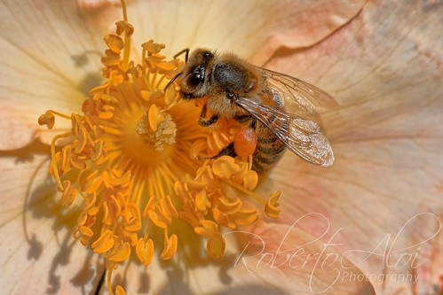 Bee on Flower by Roberto_Aloi