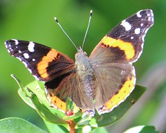 2012 11 10_5180_red admiral butterfly