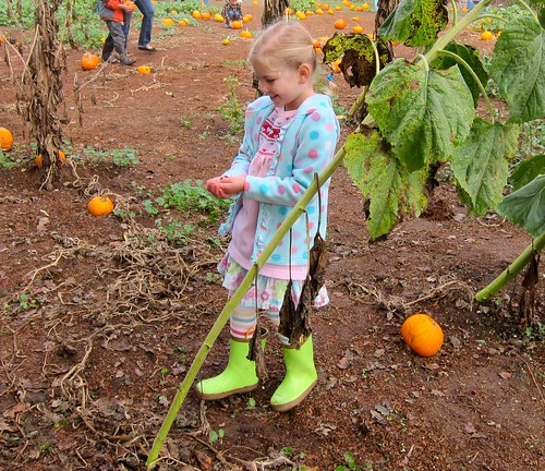 Calla 5 Pumpkin Patch