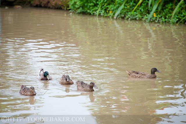 Can Ducks Drink Pool Water