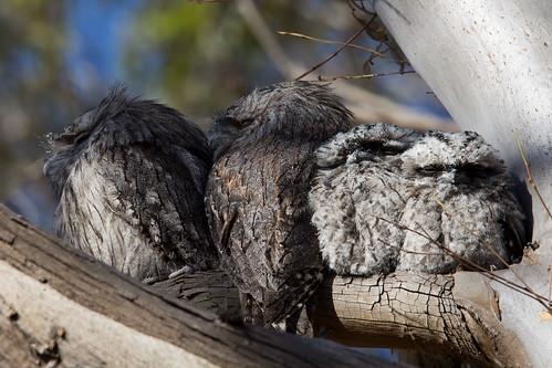 Tawny Frogmouth family 2012-11-22 (_MG_7123)