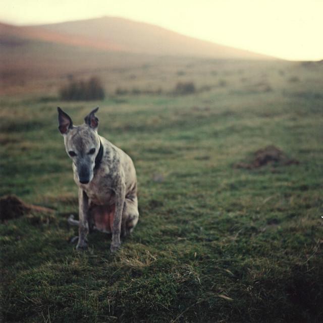 Dartmoor Whippet