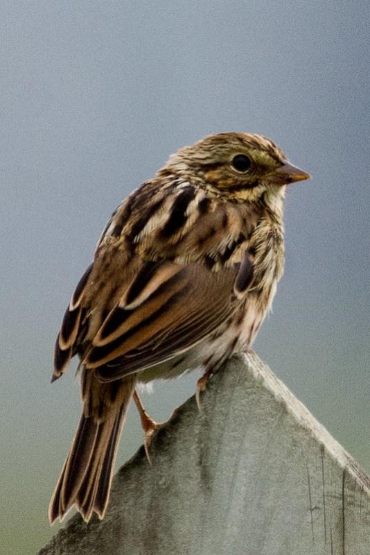 _DSC3425 Savannah Sparrow