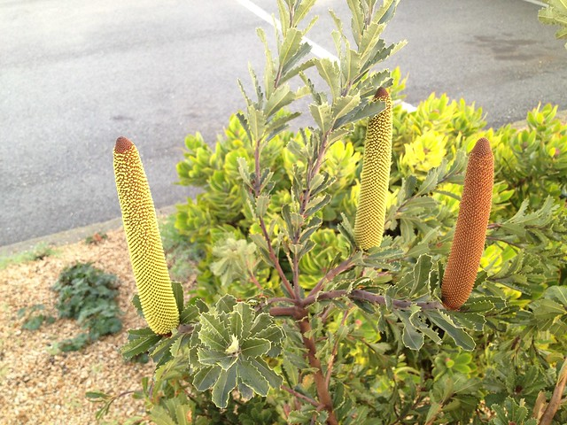 Young Banksia spikes