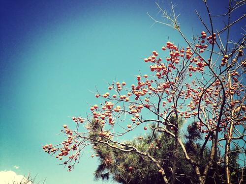 柿の木@畑