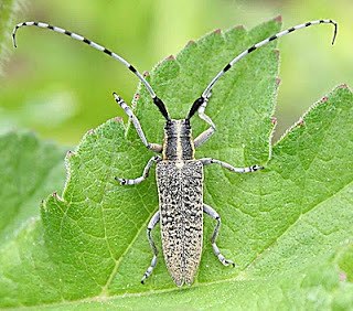 Agapanthia villosviridescens Golden-bloomed Grey Longhorn Beetle