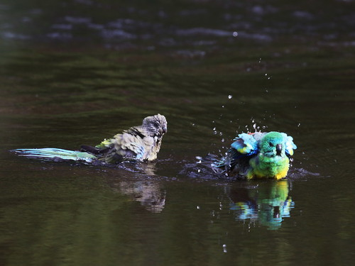 Red_rumped_parrot_1C0A2842