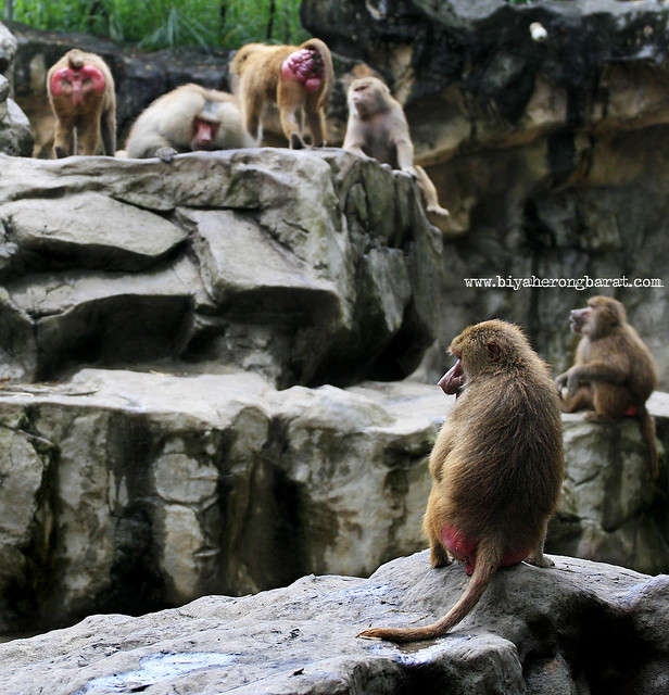 Hamdryas Baboon in Singapore Zoo