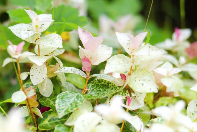 Trachelospermum Asiaticum (Hatsuyukikazura) : ハツユキカズラ(初雪蔓)