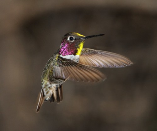 hummingbird photo by Anna Male