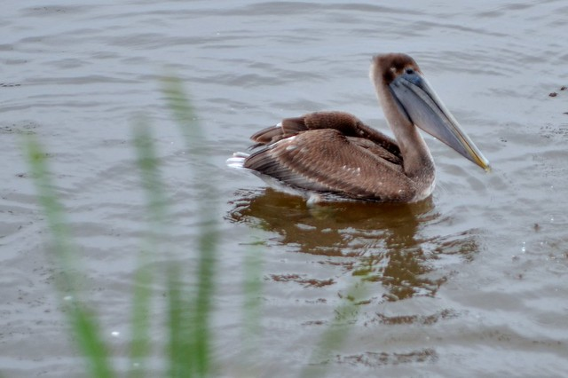 Pelican in the Grass