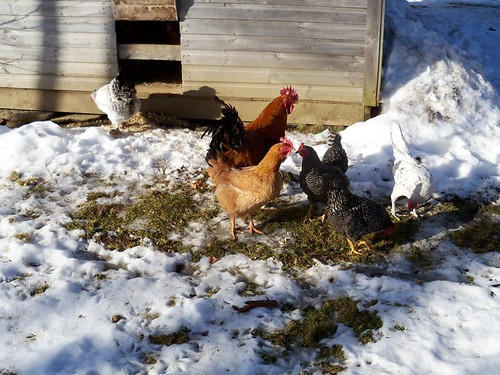 january thaw chickens
