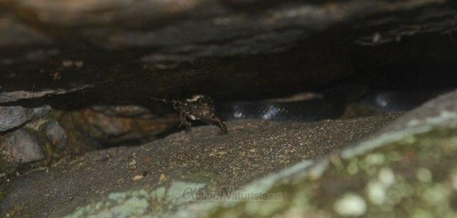 snake eating frog 0008 Harriman park, NY, USA