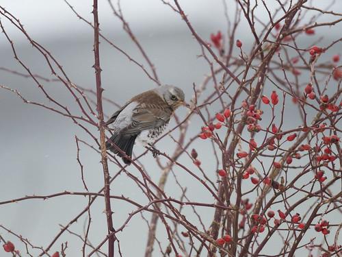 Fieldfare on Hawthorn bush