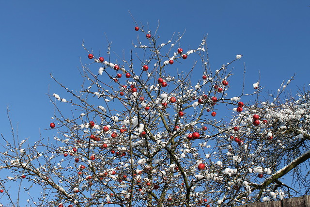 Christmas tree or frozen apples?