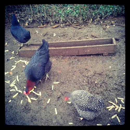 Des poules et puis des frites