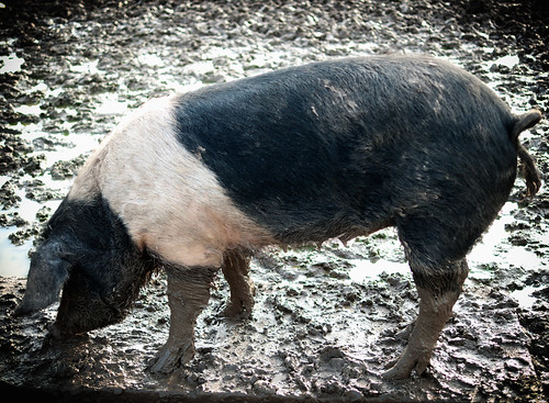 Pig by Fitzrovia