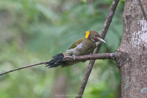 Greater Yellownape