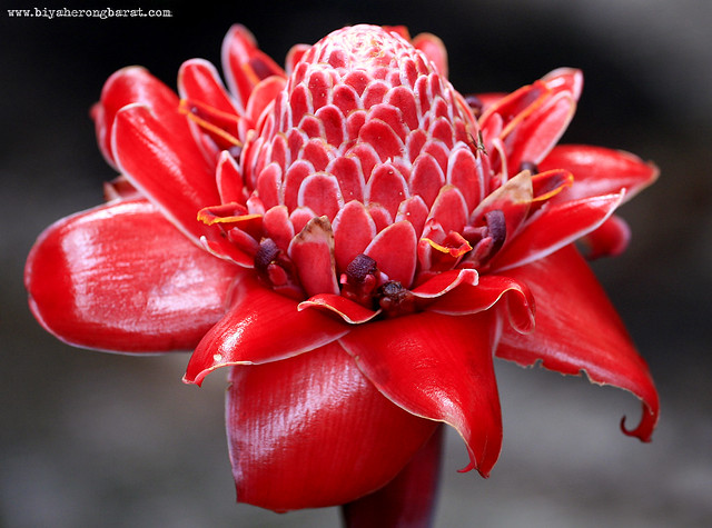 Torch Ginger in Singapore Botanic Garden