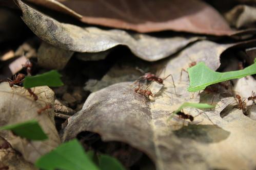 Hormigueiras cortando sus hojeiras