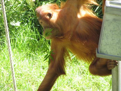 young orangutang