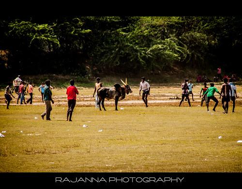 Manju Virattu in Siravayal, Karaikudi, Tamilnadu - 3 by Rajanna @ Rajanna Photography