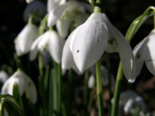 Snowdrops II