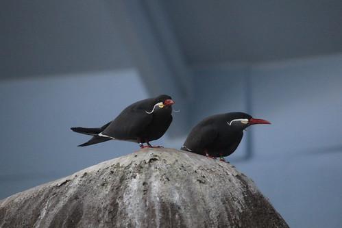 Inca Tern (2)