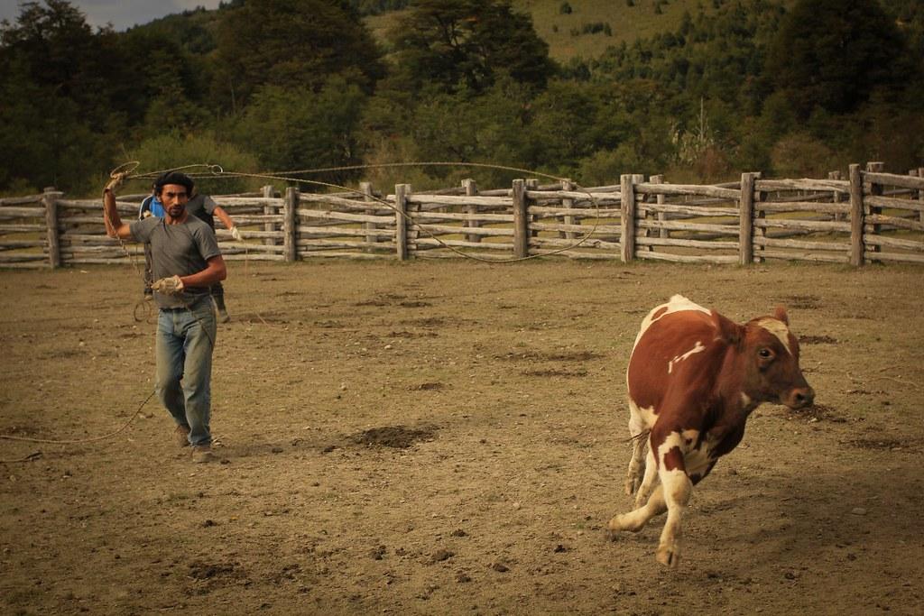 Marking of the Calves. Los Nadis. Aysen, Chile.