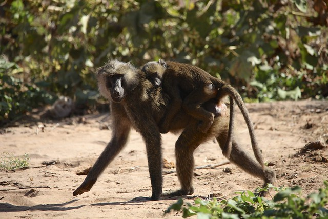 Olive Baboon (Papio anubis) with a baby