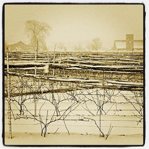 Mar 20 - 'V' {vineyard} Huff Estates #photoaday #huffestates #princeedwardcounty