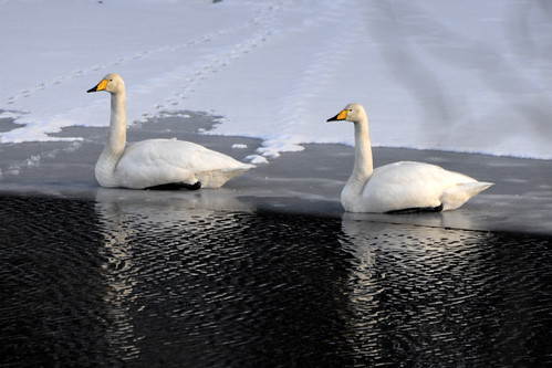 Svaner på is / Swans on ice