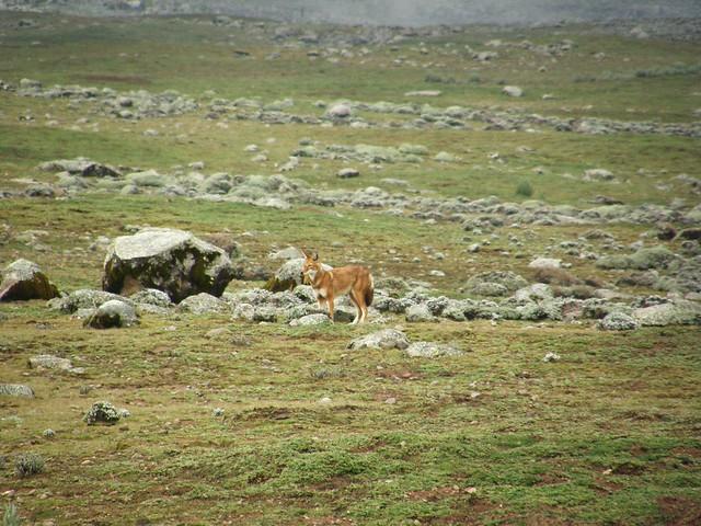 Lobo etíope (Canis simensis)