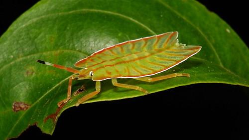 Tessaratomid Shield Bug Nymph (Tessaratomidae)