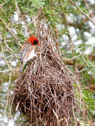 Tejedor cabecirrojo en nido