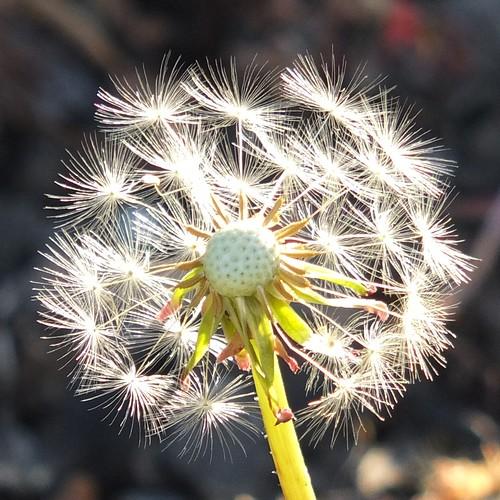 Dandelion seedhead_0007.jpg by Patricia Manhire