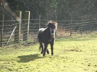 miniature pony